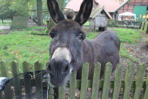 Esel auf dem Tierhof in Bokelberge
