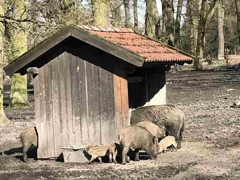 Wildschweine im Tiergarten Hannover