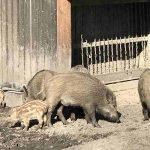 Wildschweingehege im Tiergarten Hannover