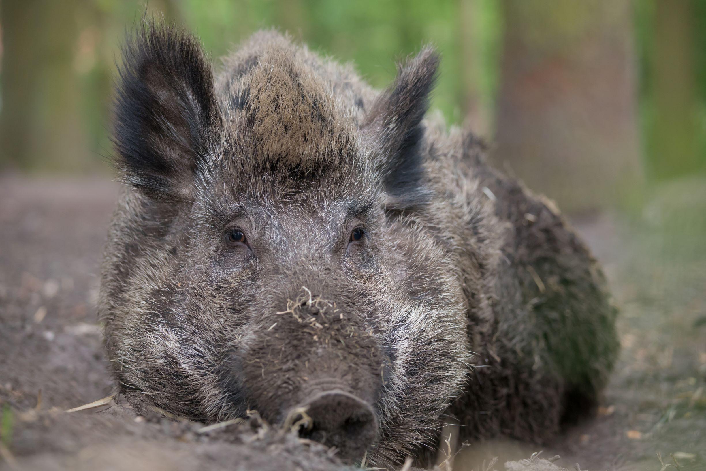 Emely, das kluge Wildschwein in Bokelberge