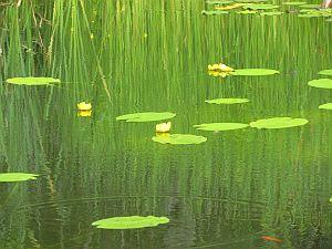 Inseln der Lebensfreude, Seerosenblätter