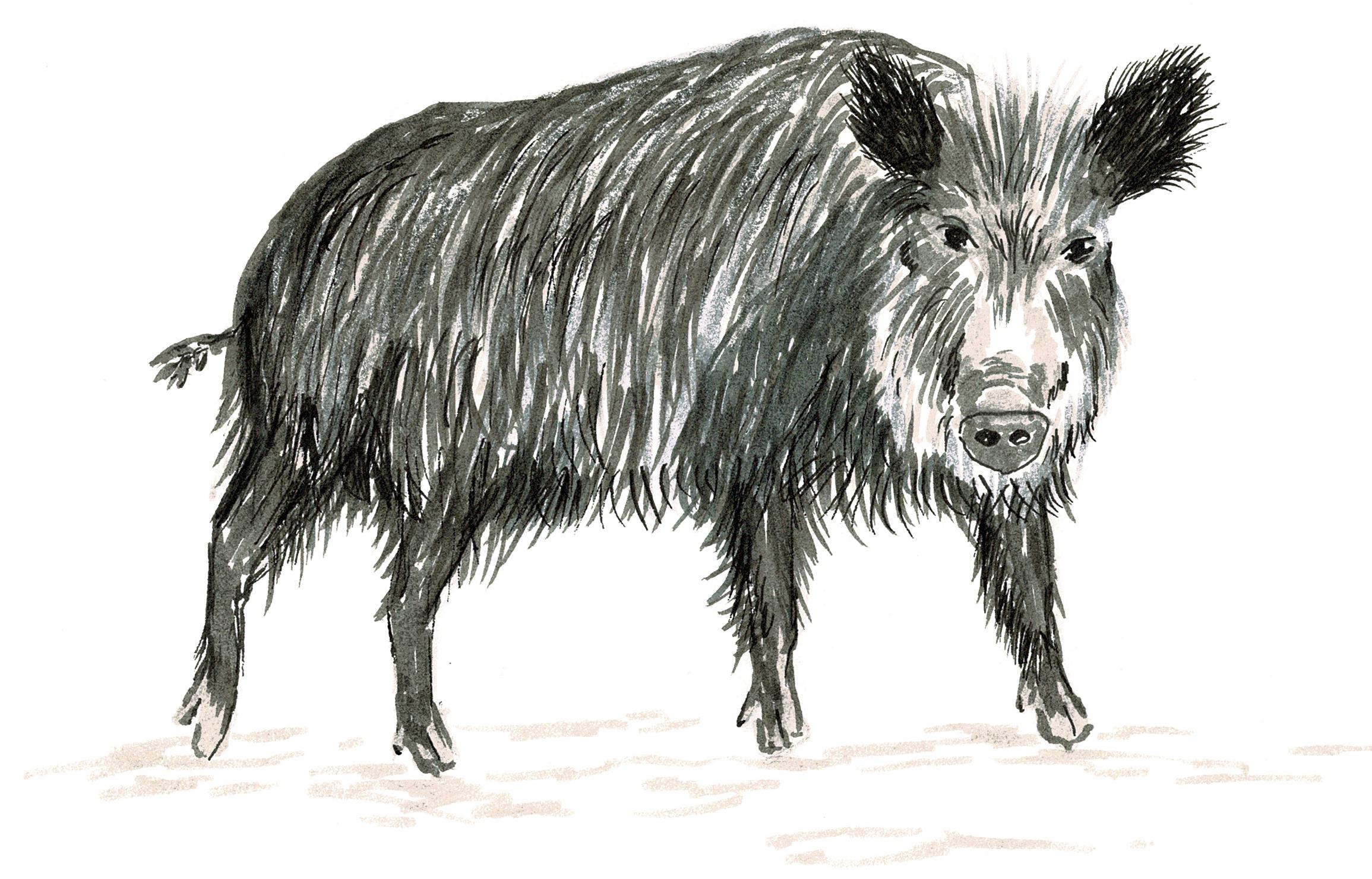 Emely - die kluge Wildschweindame