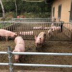 glückliche Schweine auf dem Hof in Isenbüttel